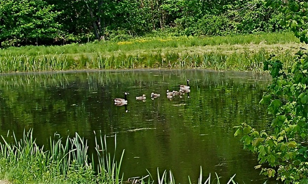 The parent geese and their goslings are enjoying a sim in the fire pond near my home.